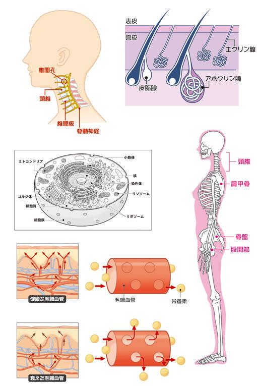 女性向け医学イラスト3